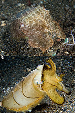 Two photos of cuttlefish with dramatically different coloration
