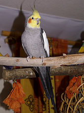 A slender mainly grey male crested parrot with a yellow and orange head perched on a horizontal wooden branch place high in a room