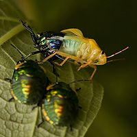 A jewel bug emerging from it's old exoskeleton while two nymphs look on in the foreground.