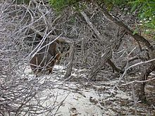 A small macropod crouches amongst a thicket of dead branches.