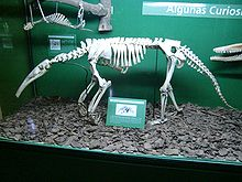 Colour photograph of skeleton of an anteater in a glass case with other skeletons. It shows a long thin snout and front legs clearly resting on knuckles