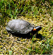 A bog turtle lifting its head slightly while on grass