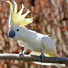 A mainly-white cockatoo with a black beak perched on a wooden perch. Its yellow crest is raised and very conspicuous.