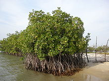 A cluster of mangroves with water on the left and sand on the right