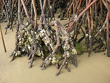 The roots of mangrove trees sticking out of the sand with oysters stuck to their sides