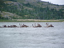 A herd of Cariboo crossing a remote river.