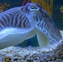 Photo of cuttlefish in profile, displaying its eye including its narrow, curving pupil