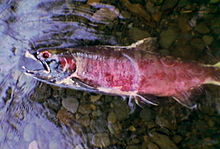 A dead fish lies on its side in shallow water over a bed of stream cobbles. Its skin has a reddish-purple cast; its mouth is open; its visible eye socket lacks an eye.