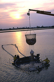 Photo of dripping, cup-shaped net, approximately 6 feet (1.8 m) in diameter and equally tall, half full of fish, suspended from crane boom, with 4 workers on and around larger, ring-shaped structure in water