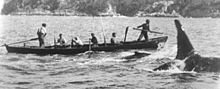 A killer whale swims alongside a whaling boat, with a smaller whale in between. Two men are standing, the harpooner in the bow and another manning the aft rudder, while four oarsmen are seated.
