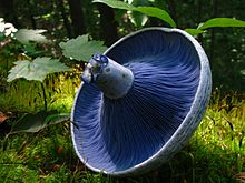 A mushroom cap on its side revealing closely spaced, blue gills