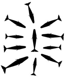 Diagram showing silhouettes of 10 inward-facing whales surrounding a single, presumably injured group member