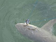 View from above of a sicklefin lemon shark hooked on a line, its head being pulled just above the water surface