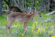 Two red-brown colored deer graze among yellow flowers in a meadow.