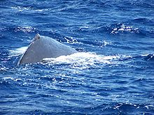 Photo of sperm whale with exposed back at the surface