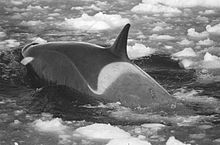 Killer whale forges through small ice floes. Its back is dark from the head to just behind the dorsal fin, where there is a light grey saddle patch. Behind this, and on its lower side, its skin is an intermediate shade.