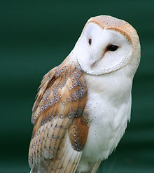 Owl with a heart-shaped face, on a green background