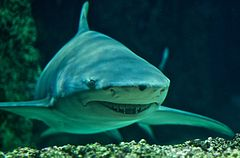 frontal view of a bulky gray shark with small eyes, a broad snout, and long curved fins