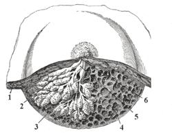 Dissected lactating breast gray1172.png