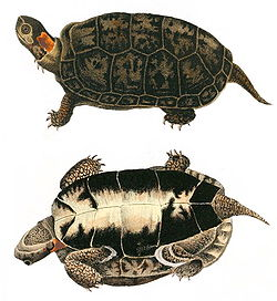 Two drawings of a bog turtle that show both the top (carapace) and bottom (plastron). It is brown and black except for a bright spot on the side of its neck