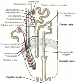 Kidney nephron.png