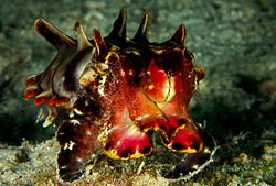 Photo of cuttlefish displaying red, black, yellow, white, and orange colors and a row of three protuberances behind each eye