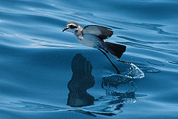 White-faced Storm Petrel in flight close to the sea surface