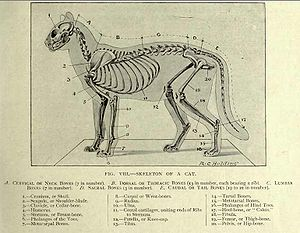A labelled diagram of a cat's skeleton