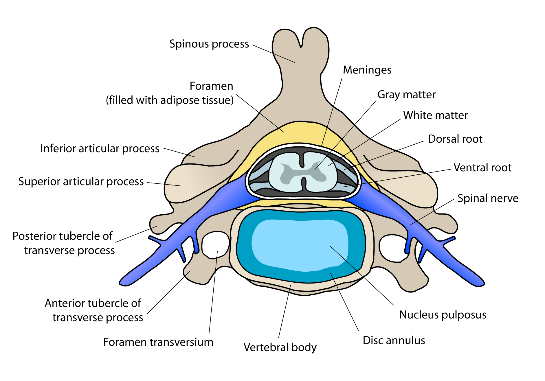 Posterior Root Of Spinal Nerve