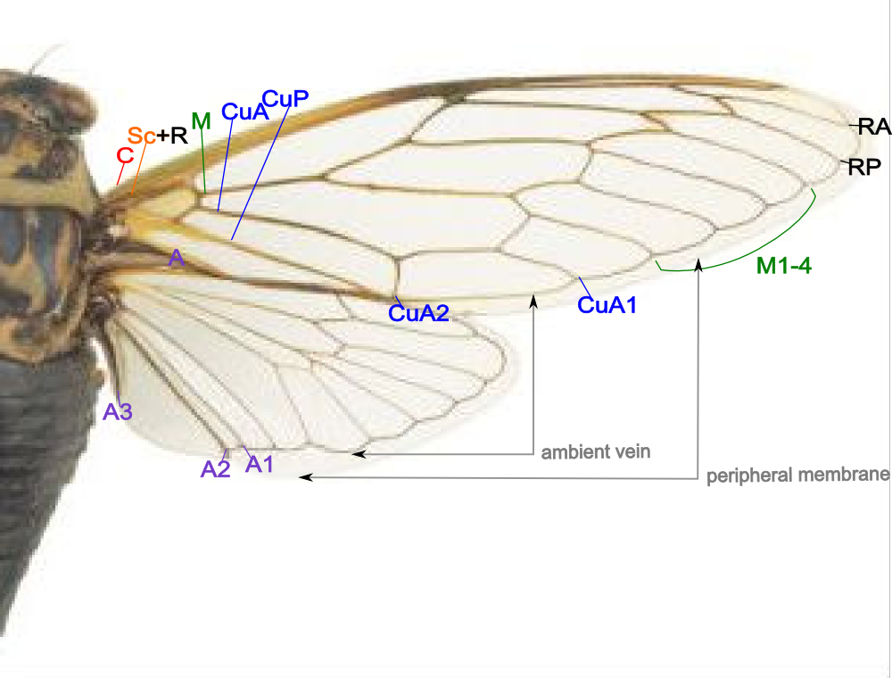 Magnificent Moth Wing Anatomy Images - Anatomy And Physiology ...