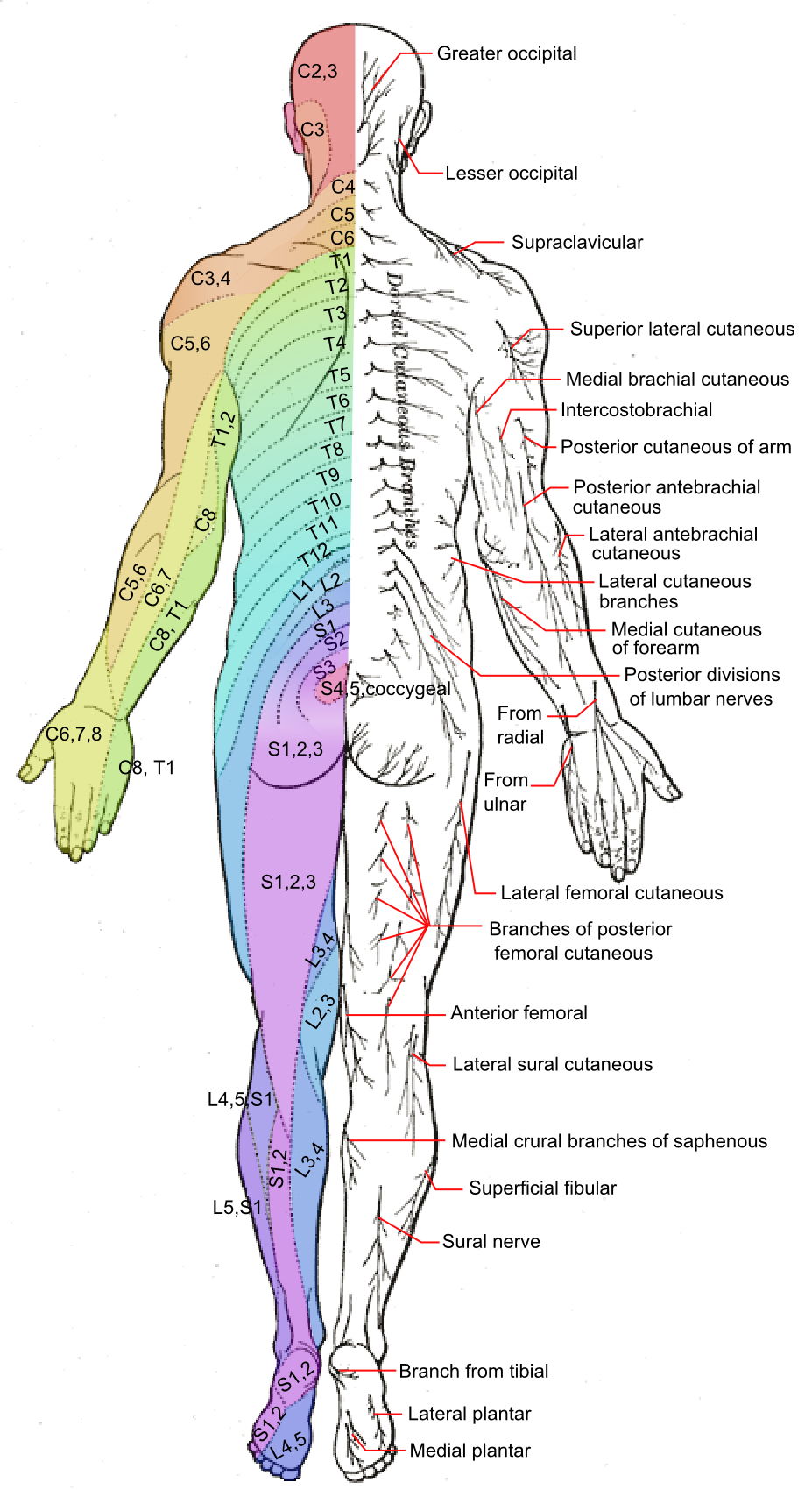 Cutaneous Nerve
