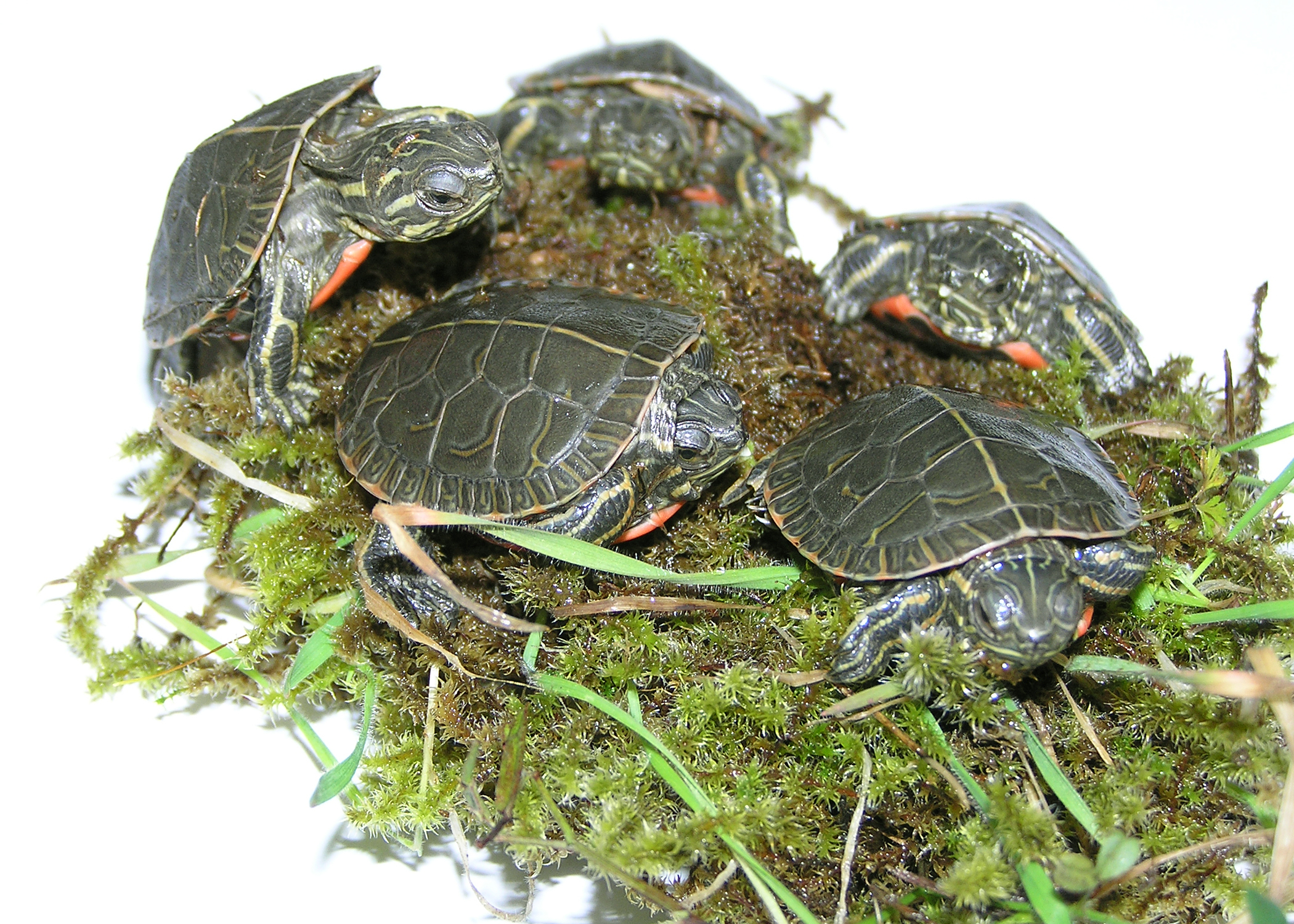 Red eared slider growth chart gallery free any chart examples flickr oregondepartmentoffishwildlife westernpaintedturtlehatchlingsvandeberghodfwg several baby painted turtles on moss on a light table nvjuhfo gallery nvjuhfo Gallery
