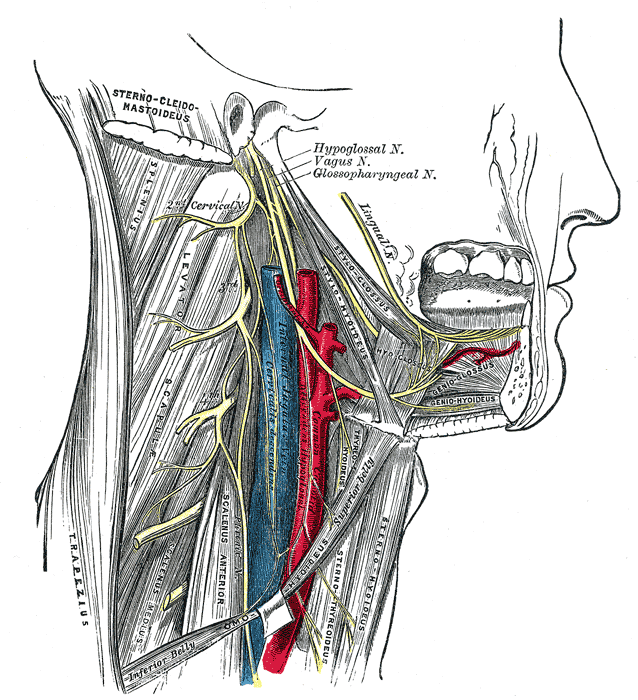 Lingual branches of hypoglossal nerve