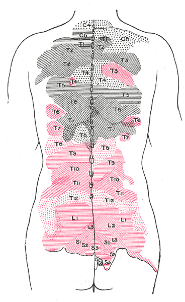 Posterior Ramus Of Spinal Nerve