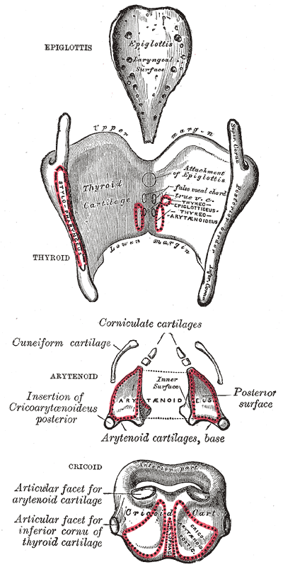 superior horn of thyroid cartilage