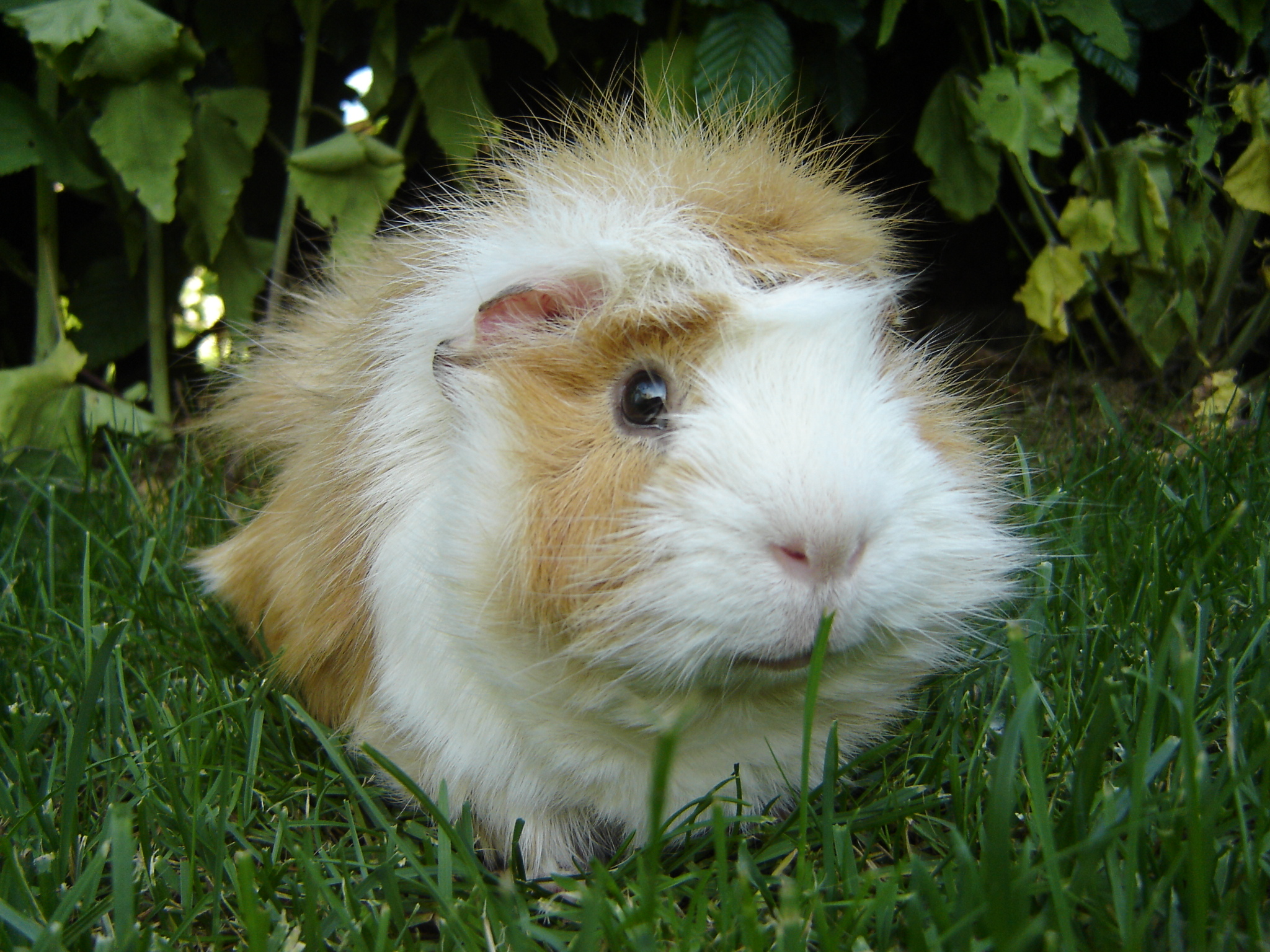 List of guinea pig breeds