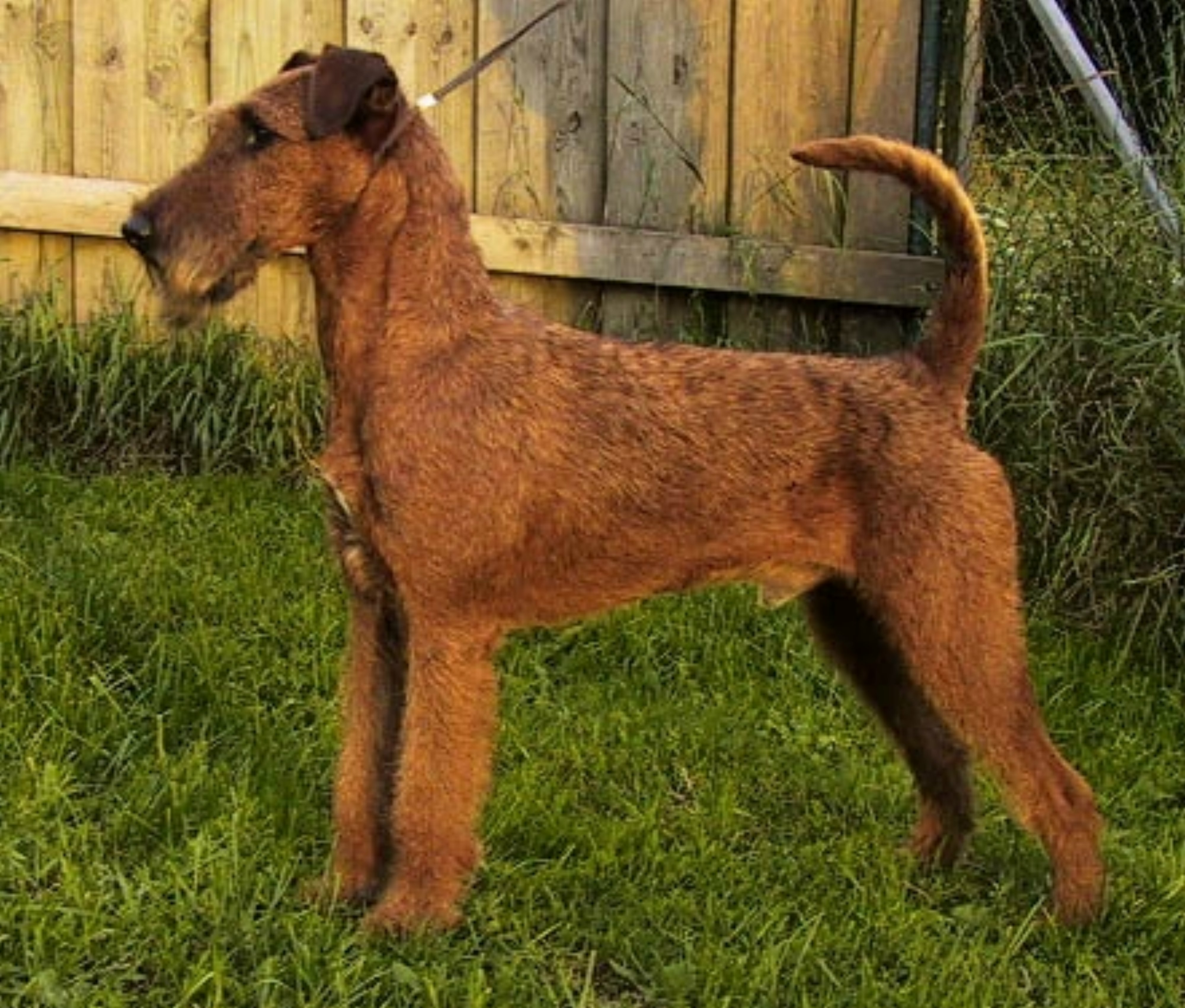 Irish Terrier: breed description, character, training, owner reviews 92