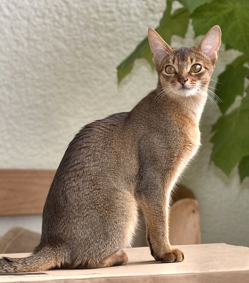 Abyssinian Cat Breeders Usa