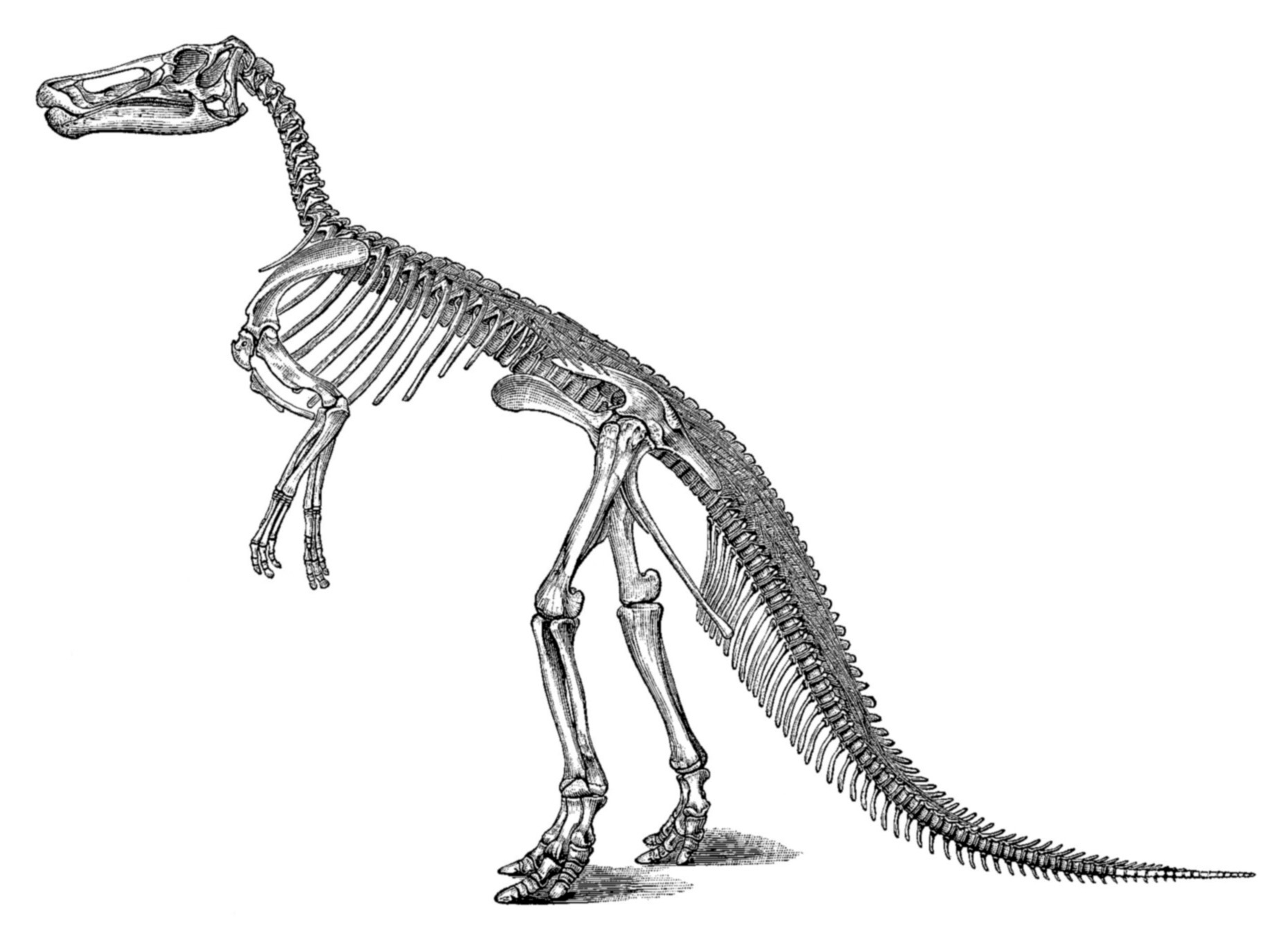 Edmontosaurus Snake Skeleton Diagram Images Pictures Becuo Discovery And History