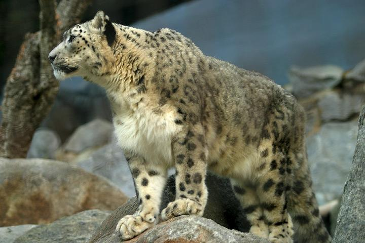 Clouded Leopard Meaning In Hindi Best Leopard 2017