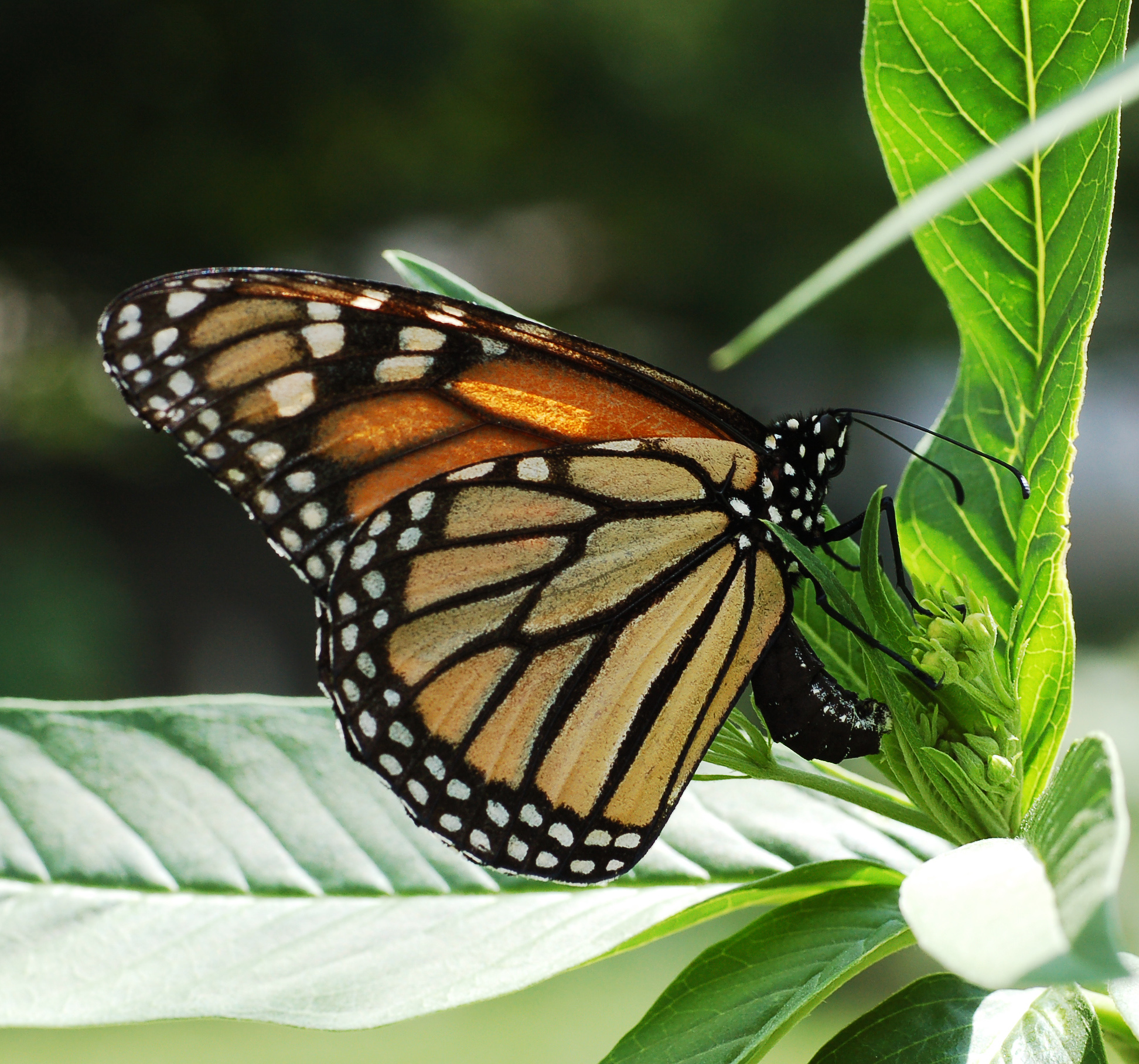 Monarch butterfly pictorial lifecycle monarch biocorpaavc Gallery