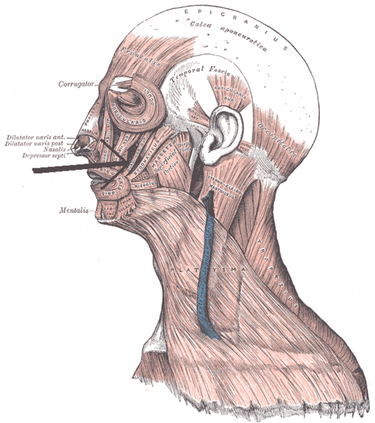 Zygomaticus Minor Muscle